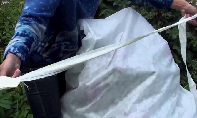 Укрытие ремонтантного малинника от морозов