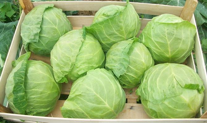 Особенности подготовки капусты к хранению