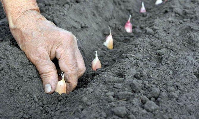 Одноярусный посев чеснока