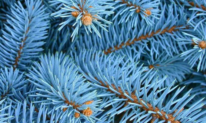 Голубая ель для посадки черенками