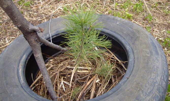 Укрытие молодых деревьев мульчей