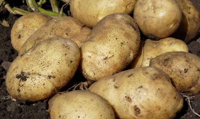 Картофель - сорт Санте