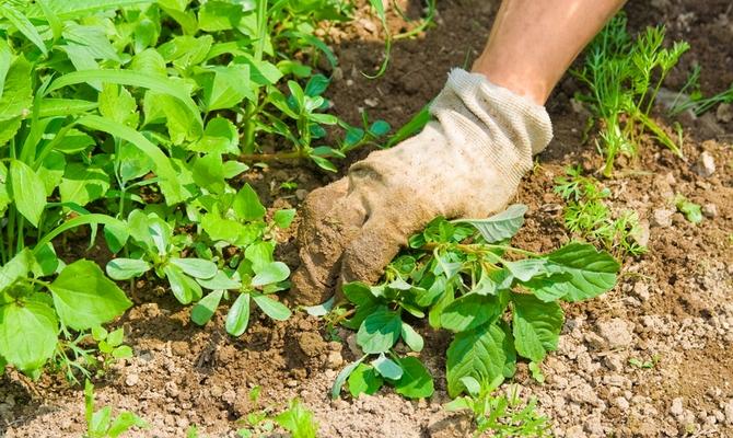 Прополка грядки и удаления сорняков