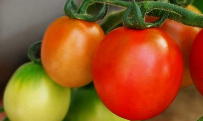 Вкусный гибрид с овальными плодами «Трапеза»