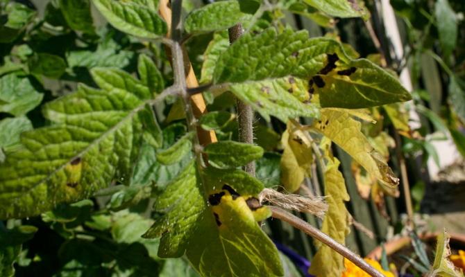 Нарушение обменных процессов в организме растения