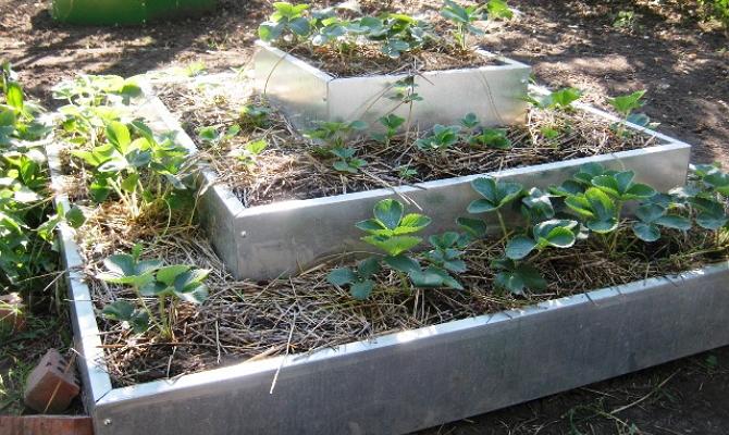 Выращивание ягод в ящиках