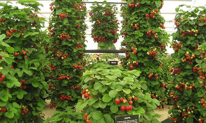 Сорт ягод с длинными цветоносами