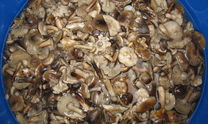 Соление грибов холодным способом