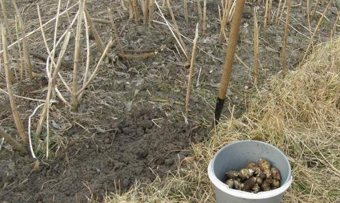 Высаживание топинамбура в осеннее время