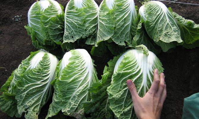 Сбор урожая пекинки за закладки на зиму