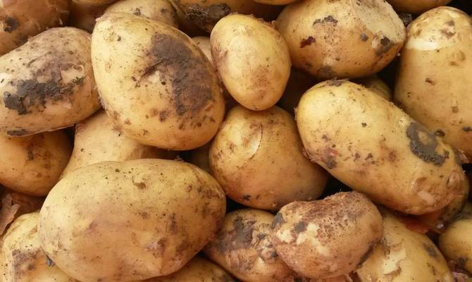 Большие плоды картофеля сорта Астерикс