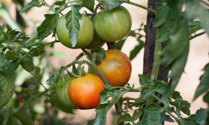 Начавшие желтеть помидоры