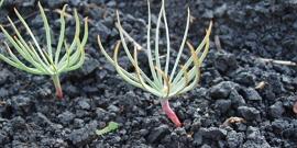 Как вырастить сосну из семян – последовательность действий до результата
