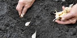 Сроки осенней посадки чеснока