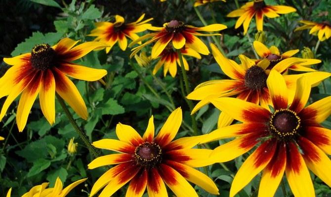 Неприхотливые цветы для дачи однолетники фото с названиями
