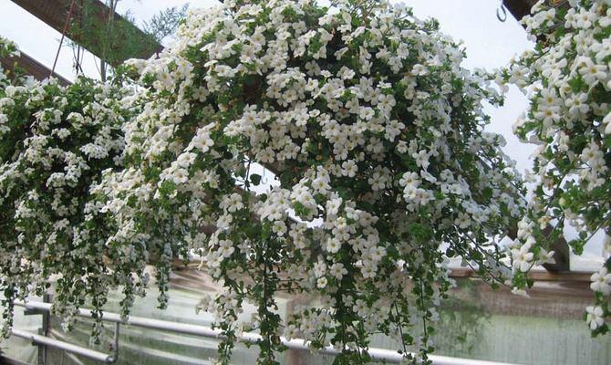 Однолетнее растение бакопа