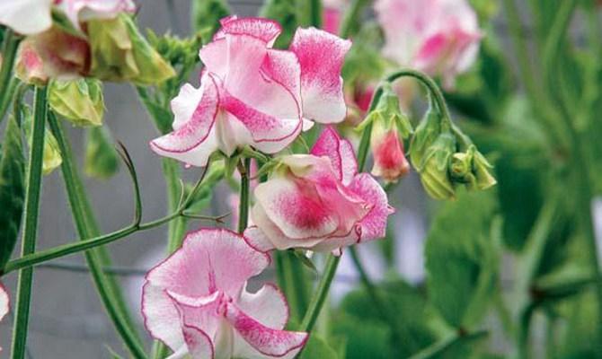 Душистый горошек - однолетнее растение для дачи