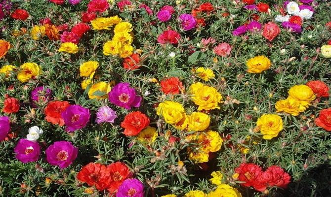 Однолетнее растение - эшшольция