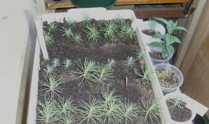 Контейнер с сосновыми ростками