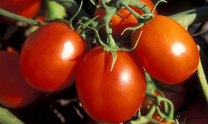Сорт томатов Самара