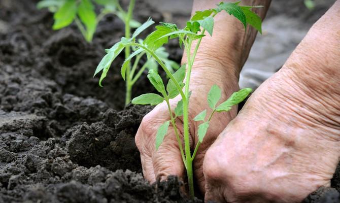 Посадка рассады томатов в грунт