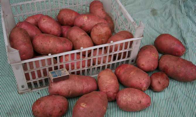 Большие клубни картофеля Ред Скарлет