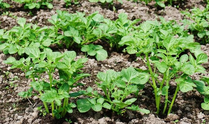 Подросшие ростки картофеля