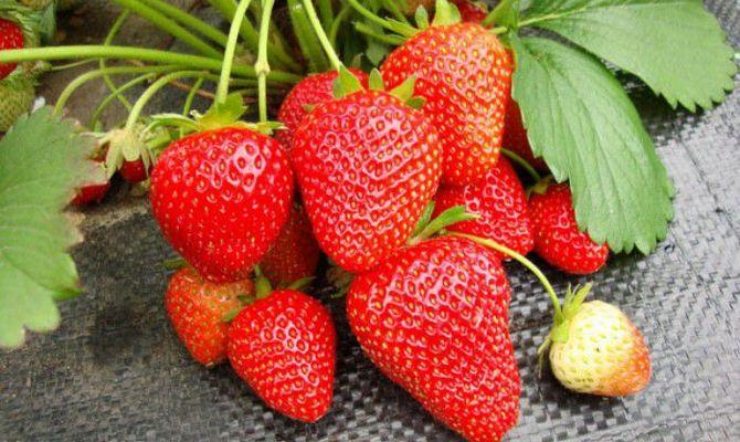 Большие ягоды ремонтантной клубники