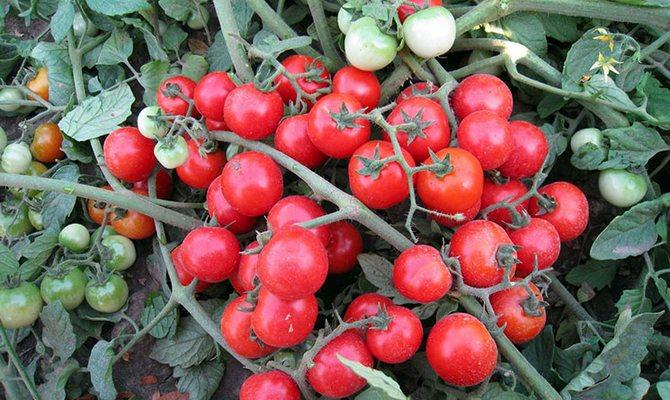 Маленькие плоды томатов Черри