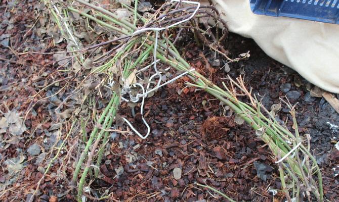 Очистка розовых кустарников от листьев