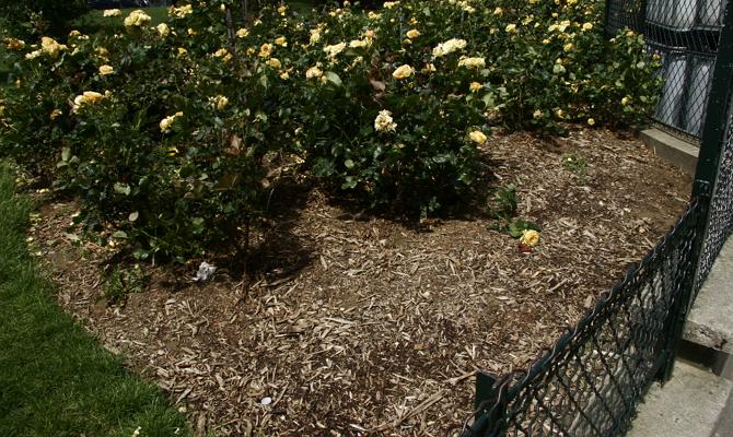 Мульчирование парковых розовых кустарников