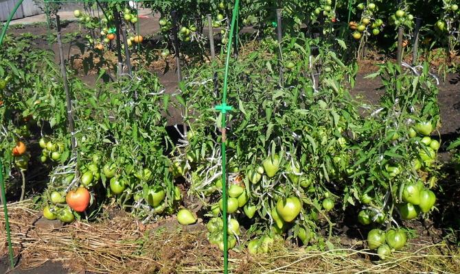 Чем отличаютсядетерминантные ииндетерминантные томаты?