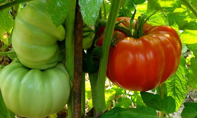 Лучшие детерминантные сорта для выращивания на открытом грунте и в теплице