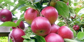 Сорт яблок Звездочка – что привлекает садоводов и бизнесменов?