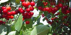 Вишня «Щедрая» – насколько правдиво название сорта?