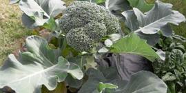 Капуста брокколи – выращивание рассады и особенности посадки