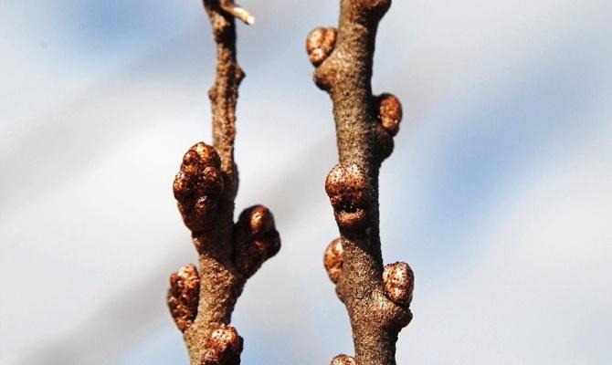 Как посадить облепиху одревесневшими черенками?