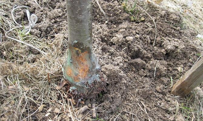 Загнивание корневища плодового дерева