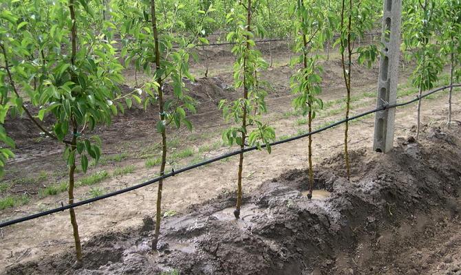 Полив яблоневых деревьев