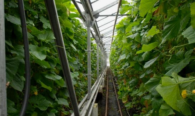 Вертикальная методика подвязки овощей