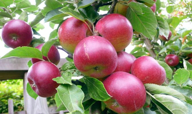 Искусственно выведенная яблоня «Звездочка»