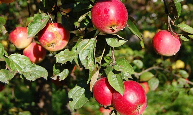 Яблоки с интенсивным ярко-красным цветом