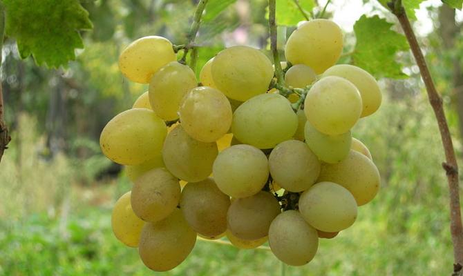 Сверхранний сорт винограда