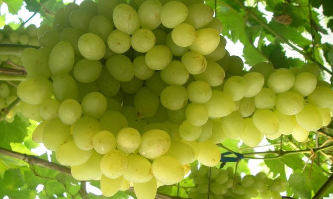 Ранние сорта винограда для средней полосы