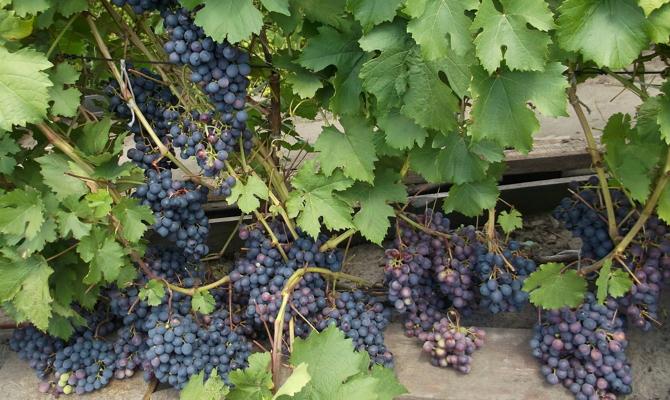 Суперранние грозди сорта «Июльского»
