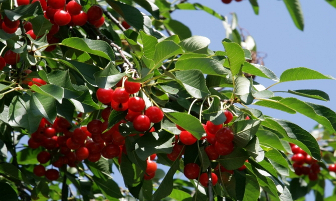 Сорт вишни «Щедрая»