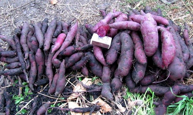 Сорта батата, их урожайность и вкусовые качества