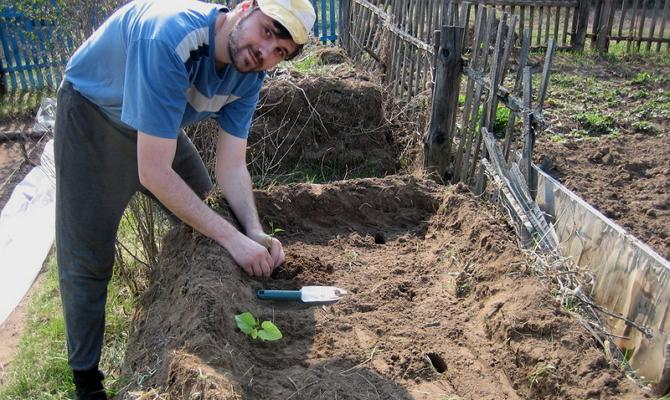 Как правильно сажать корнеплод на открытый грунт?