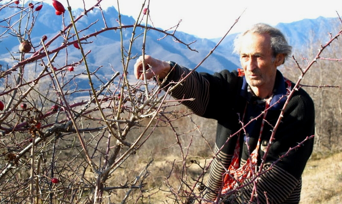 Храним корень, листья и ягоды шиповника – полезные свойства плодов не должны пропасть!