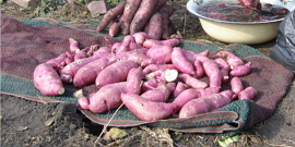 Батат – сладкий картофель на грядках вашего загородного участка